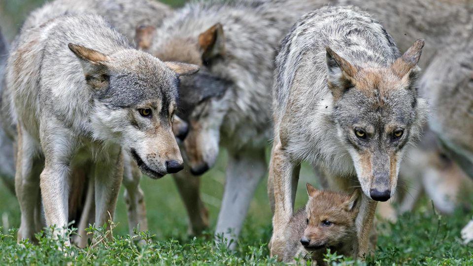 Der Wolf spaltet die Gemüter