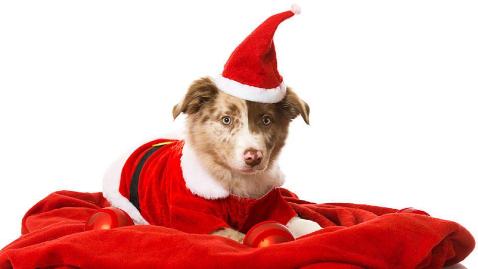 Ein Hund als Weihnachtsgeschenk? Das will wohl überlegt sein.