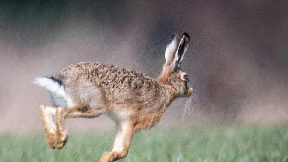 Ein Feldhase läuft über eine Wiese. Foto: Boris Roessler/dpa/Symbolbild