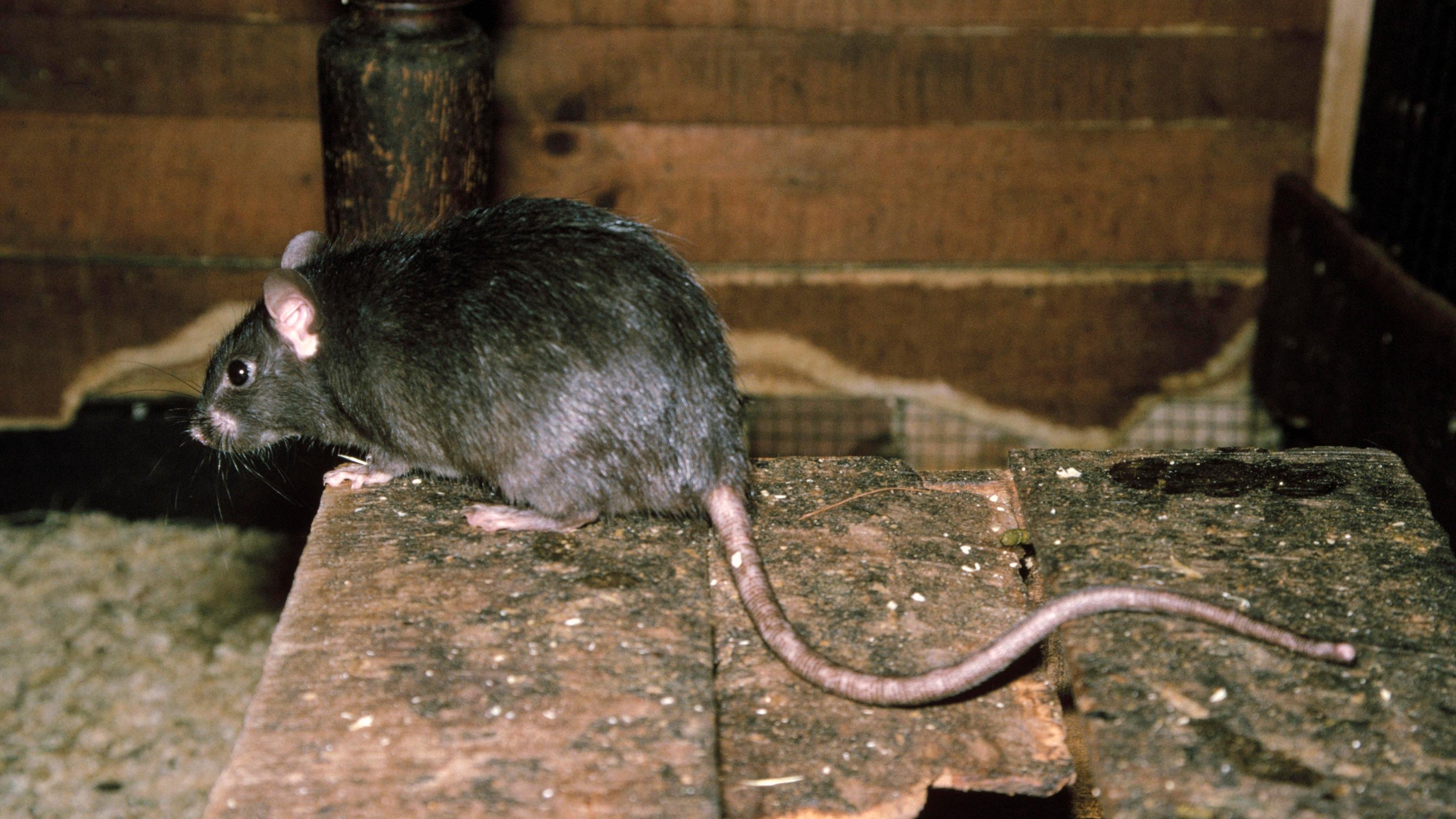 Im Vorgarten von Anke O. leben jede Menge Ratten (Symbolbild).