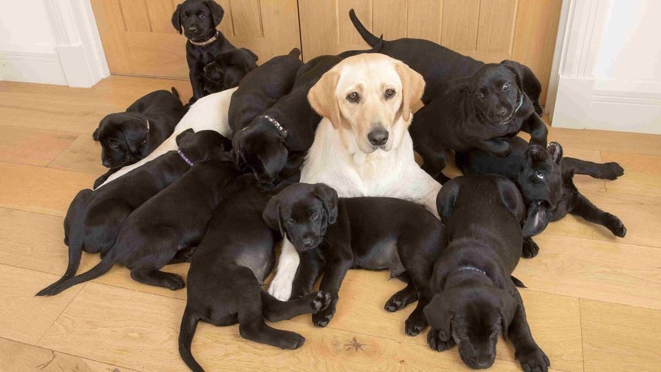 Lucy the golden retriver gives birth to 13 black puppies