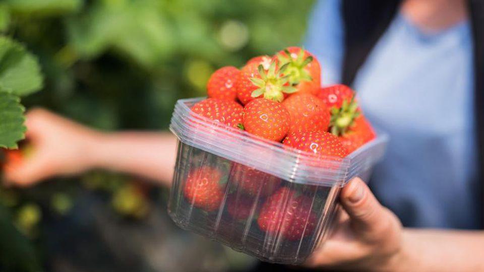 Erntehelfer pflücken Erdbeeren. Foto: Rolf Vennenbern/Archivbild