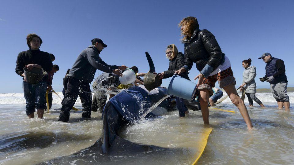 Den Helfern gelang es, sechs der sieben gestrandeten Orcas zu retten.