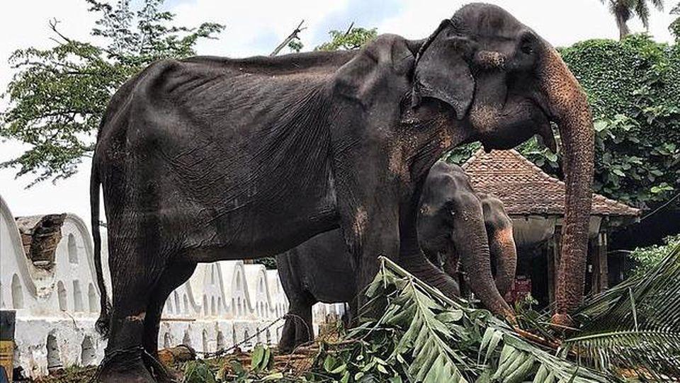 Abgemagerter Elefant (70) wurde auf einem Festival in Sri Lanka als Attraktion missbraucht