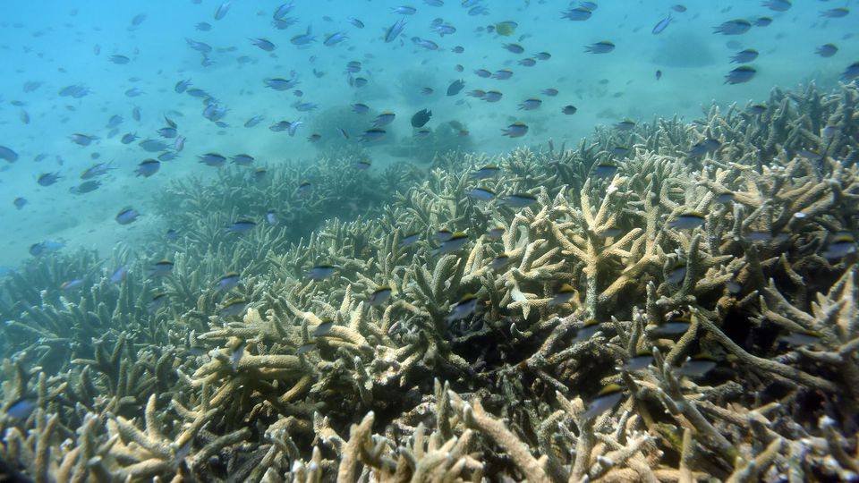 ARCHIV - Tropische Fische schwimmen am 25.11.2016 am Rand eines von Korallenbleiche betroffenen Korallenriffs am Great Keppel Island vor der Küste von Queensland (Australien). Das weltgrößte Korallenriff Great Barrier Reef vor der Küste Australiens i