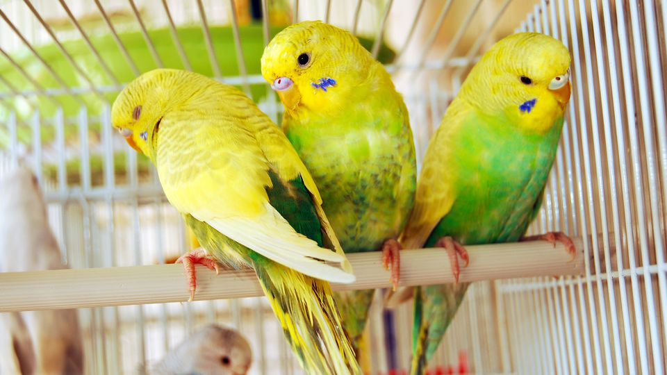 Für Vögel wie Wellensittiche können die Raclette-Dämpfe lebensgefährlich werden.