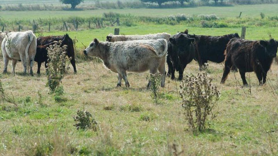 Die Rinderhaltung in Mecklenburg-Vorpommern ist das fünfte Jahr in Folge geschrumpft. Foto: Stefan Sauer/dpa/Archivbild