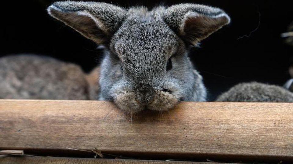 Ein Kaninchen-Junges der Rasse Zwergwidder schaut neugierig aus dem Stall hinaus. Foto: Frank Rumpenhorst/dpa