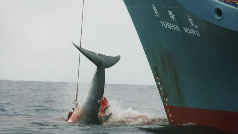 FILE - A file photograph showing the Yushin Maru catcher ship of the Japanese whaling fleet injuring a whale with its first harpoon attempt, and taking a further three harpoon shots before finally killing the badly injured fleeing whale in the Southe