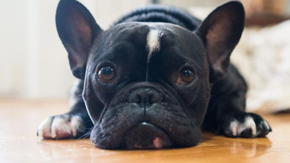 Trotz schlechter Behandlung müssen die Hunde wieder zurück zu ihren Besitzern. (Symbolbild)