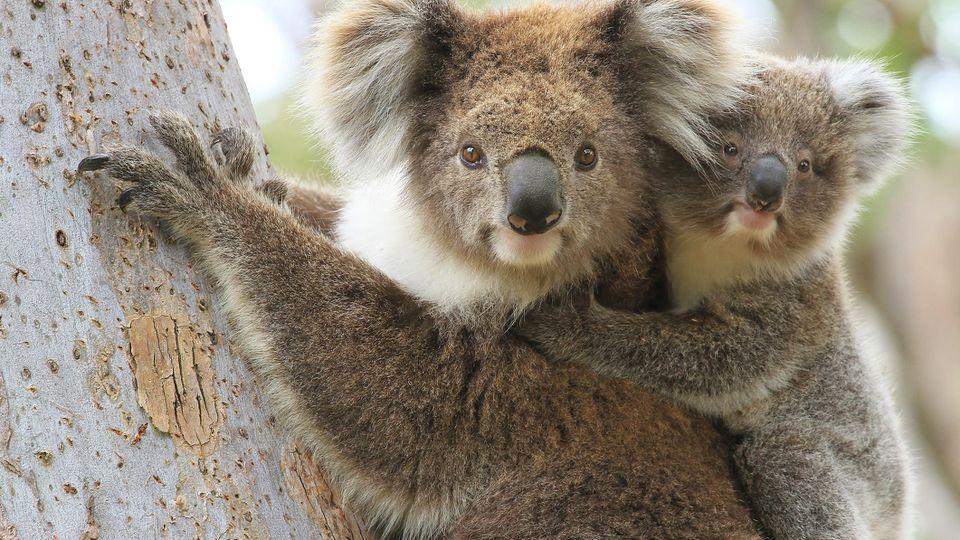 Koalas sind vom Aussterben bedroht.