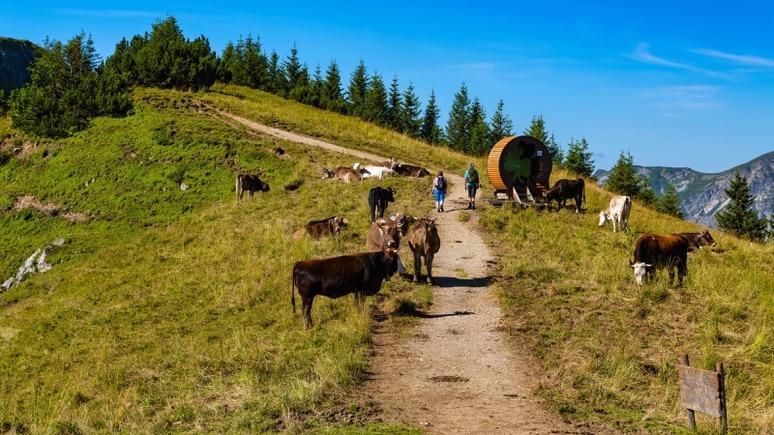 In Tirol sind Wanderwege mit freilaufenden Kühe keine Seltenheit. (Symbolfoto)