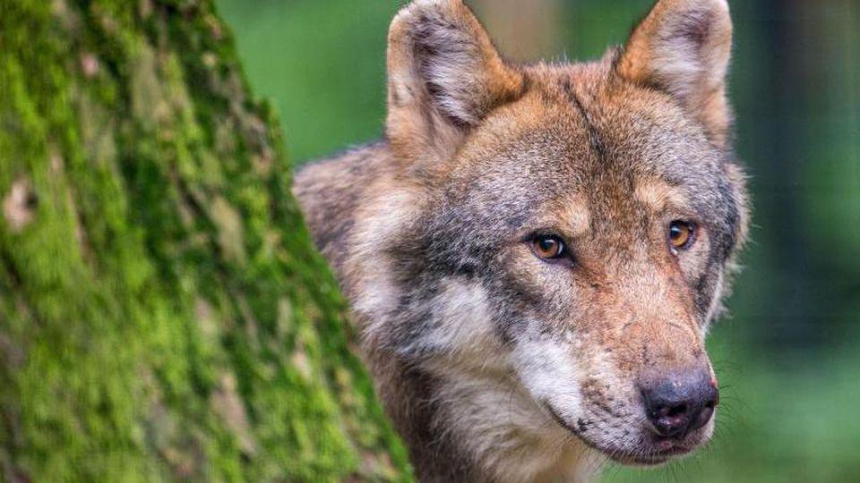 Ein Wolf schaut hinter einem Baum in einem Wildpark hervor. Foto: Lino Mirgeler/dpa/Symbolbild