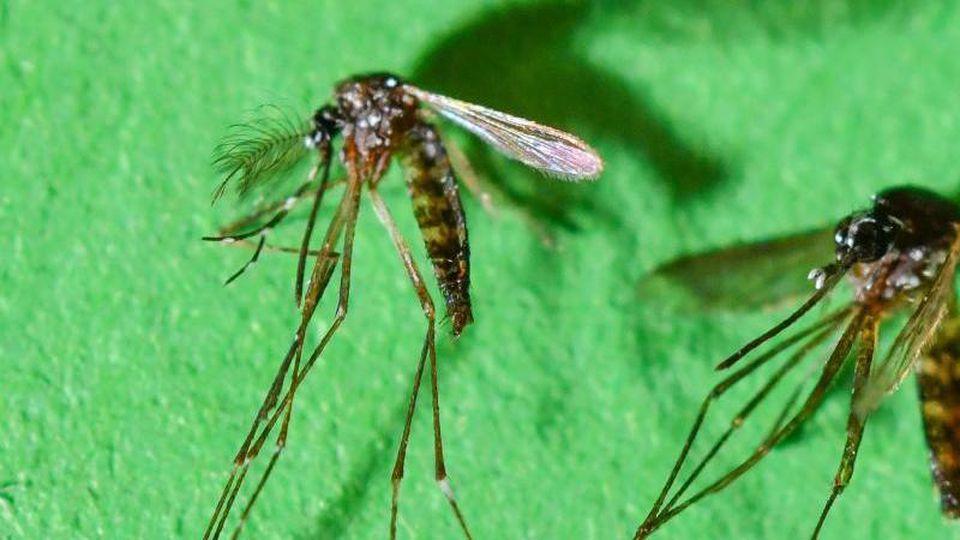 In Spanien sind die ersten Fälle einer Infektion mit dem Chikungunya-Virus im eigenen Land registriert worden. Übertragen wird der Virus von der Asiatische Tigermücke. Foto: Patrick Pleul
