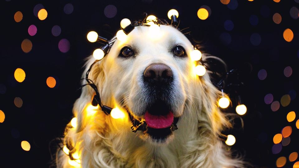 Hund an Silvester