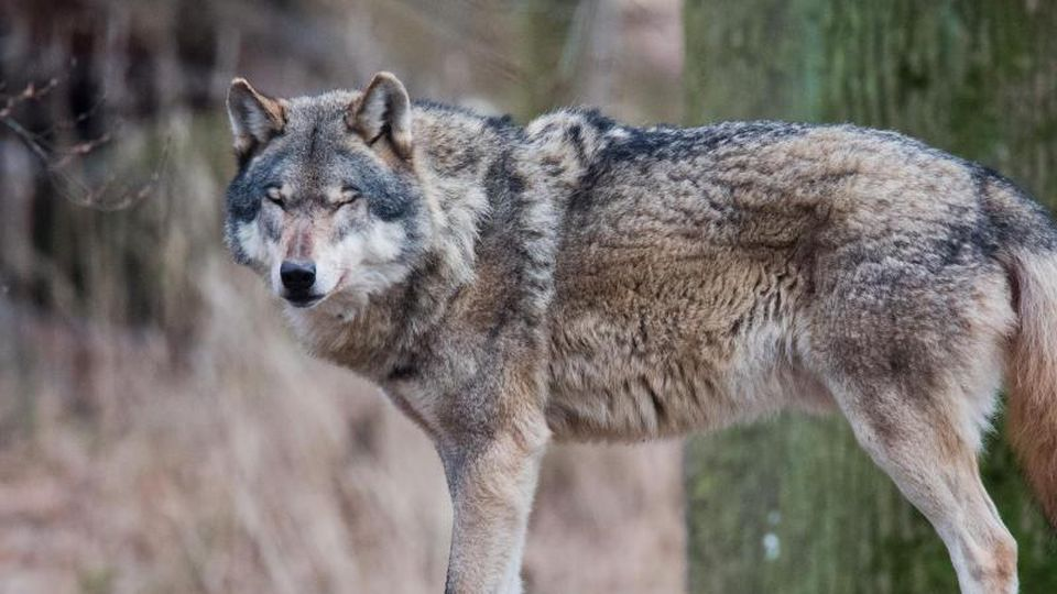 Ein Europäischer Wolf (Canis lupus lupus) steht in einem Gehege im Wisentgehege auf einem Baumstamm.Foto: Julian Stratenschulte/Archiv