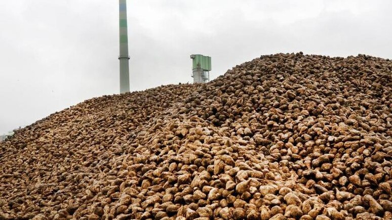 Ein riesiger Berg mit Zuckerrüben liegt zum Saisonstart auf dem Hof eines Zuckerherstellers. Foto: Roland Weihrauch/dpa/Symbolbild