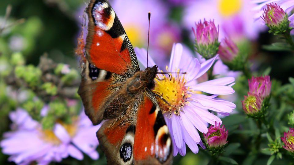 Ein Pfauenauge besucht am 28.09.2012 im niederrheinischen Moers die Blüten einer Aster. Bei zum Teil schönem Spätsommerwetter finden die Schmetterlinge noch genug Blüten, um sich zu ernähren. Foto: Roland Weihrauch dpa/lnw  +++(c) dpa - Bildfunk+++