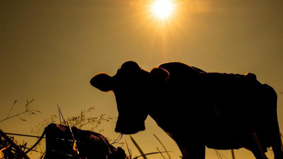 Zwei Kühe im Sonnenschein. Foto: Mohssen Assanimoghaddam/Archivbild