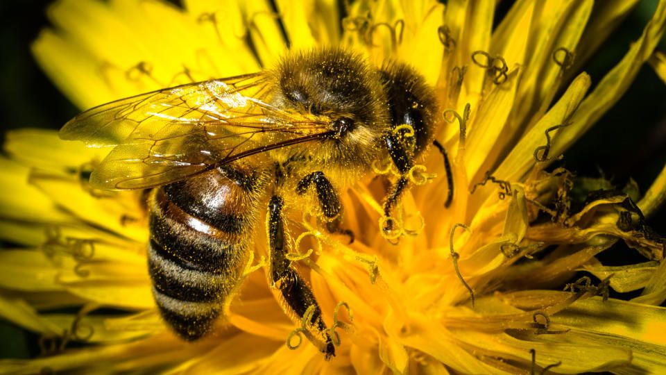 """ARCHIV- Eine mit Blütenpollen bedeckte Biene sitzt am 19.04.2015 bei Wiesenthau (Bayern) auf einem Löwenzahn. Foto: Nicolas Armer/dpa (zu dpa """"Bundesamt für Naturschutz stellt zum ersten Mal einen umfassenden Artenschutz-Report vor"""" vom 20.05.2015)"""