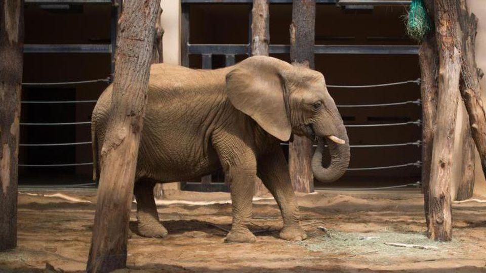 Elefantendame Mwana. Foto: Klaus-Dietmar Gabbert/dpa-Zentralbild/dpa/Archivbild