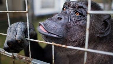 Urteil Im Prozess Um Zirkus Schimpanse Robby Das 43 Jahre Alte Tier