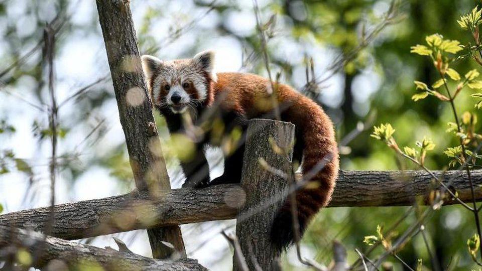 Ein Roter Panda in seinem Gehege. Foto: Britta Pedersen/dpa-Zentralbild/ZB/Archivbild