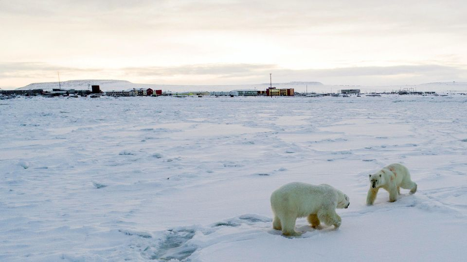 Gefährliche Nähe: Hungrige Eisbären nähern sich dem Dorf Ryrkaipij am Nordpolarmeer.
