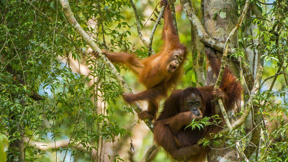 Mother and baby Bornean orangutan (Pongo pygmaeus) in trees Tanjung Puting National Park, Borneo-Kalimatan, Indonesia, endangered species. PUBLICATIONxINxGERxSUIxAUTxONLY 1490800 InakixxRelanzonMother and Baby Bornean Orangutan Pongo pygmaeus in Tree