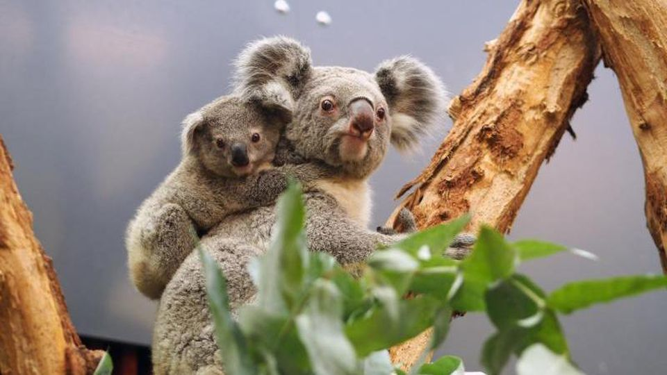 Koalas im Leipziger Zoo. Foto: ---/Zoo Leipzig/dpa/Archivbild