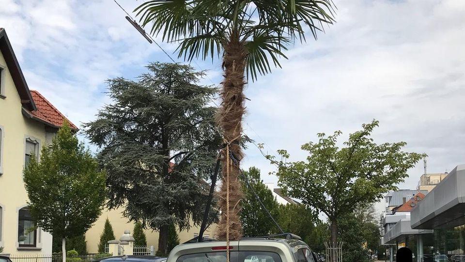 Sowas sieht man nicht alle Tage: Eine vier Meter hohe Palme ragt aus einem Autodach.