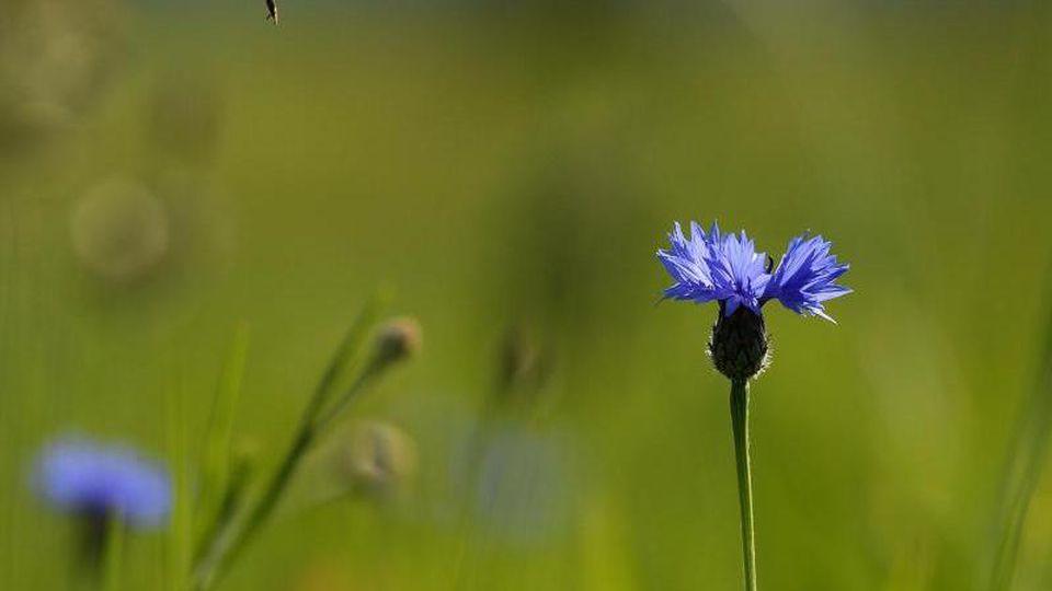 Eine Biene fliegt auf eine Kornblume zu. Foto: Angelika Warmuth/Archivbild