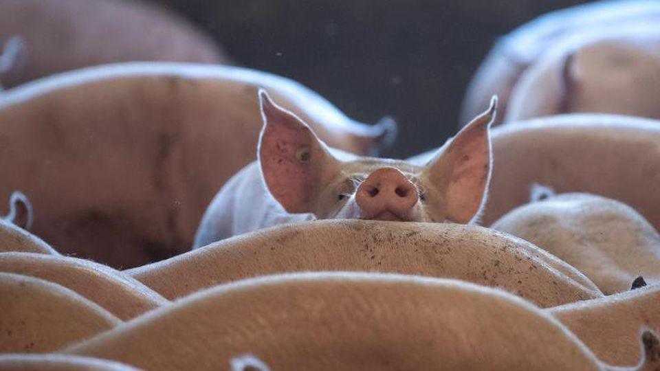 Schweine stehen in einem Stall. Foto: Sina Schuldt/dpa