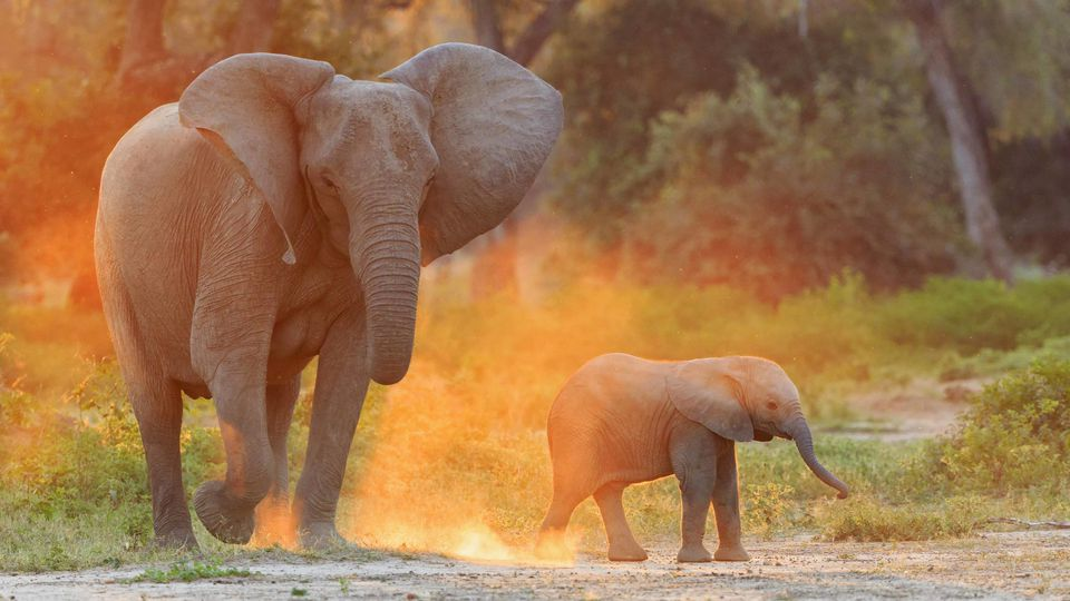 Elefanten werden stark vom Menschen bedroht.