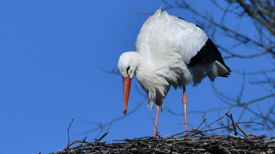 Der erste Storch des Jahres ist aus seinem Winterquartier zurück. Foto: Bernd Settnik