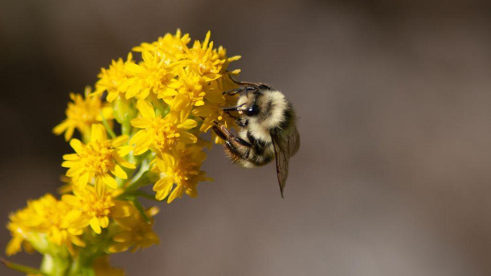 Bienen profitieren von Wildstauden und Kräutern im Garten.