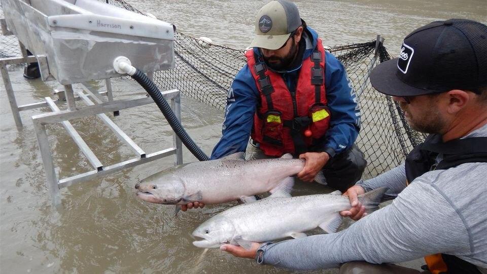 Die Lachse sollen in Behältern gesammelt und mit einem Hubschrauber zu ihrem Laichplatz geflogen werden.