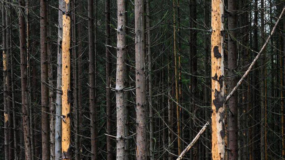 Abgestorbene Fichten stehen in einem Wald. Foto: Uwe Zucchi/dpa/Symbolbild