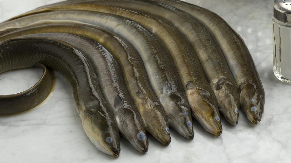 Aale gelten als Delikatessen, sollten aber wegen hoher Dioxin-Belastung aus Flüssen wie der Ems oder der Weser nicht gegessen werden.