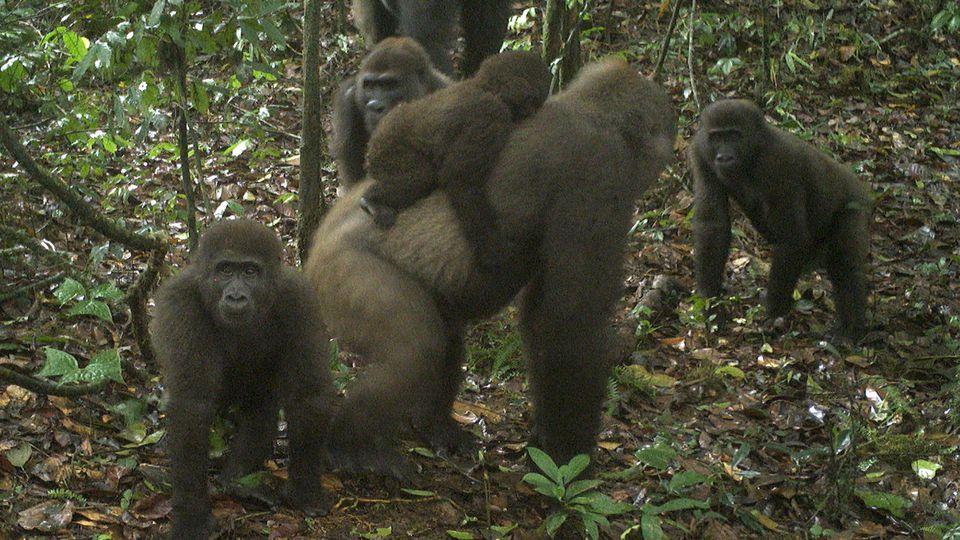 Seltene Gorilla-Art fotografiert