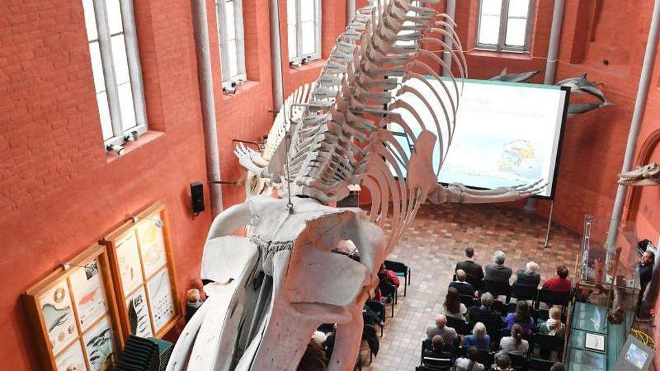 Ein Finnwalskelett hängt im Meeresmuseum Stralsund. Foto: Stefan Sauer/dpa-Zentralbild/dpa/Archivbild
