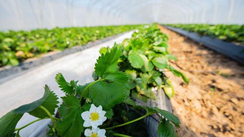 Erdbeerpflanzen blühen in einem Foliengewächshaus. Foto: Andreas Arnold/dpa/Archivbild