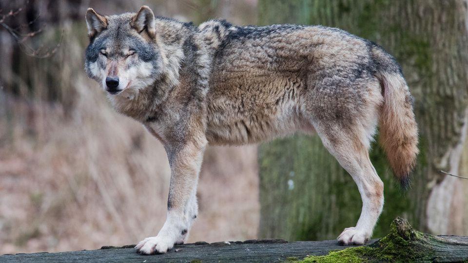 Gerichtsentscheidung: Wolf in Niedersachsen kann getötet werden