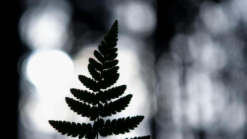 Ein Farnblitt ist im Gegenlicht zu sehen. Foto: Patrick Pleul/dpa-Zentralbild/dpa/Symbolbild