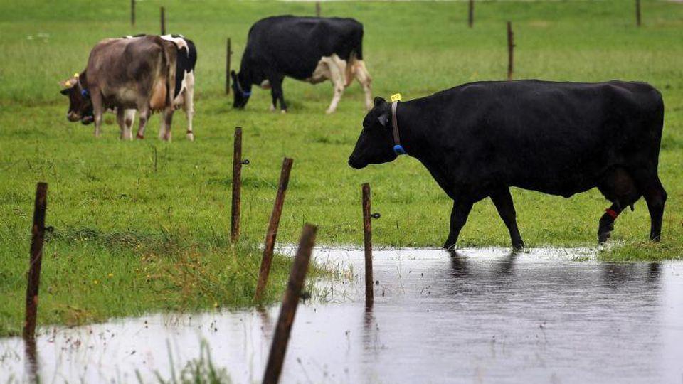 Kühe weiden auf einer Wiese. Foto: Karl-Josef Hildenbrand/dpa/Symbolbild