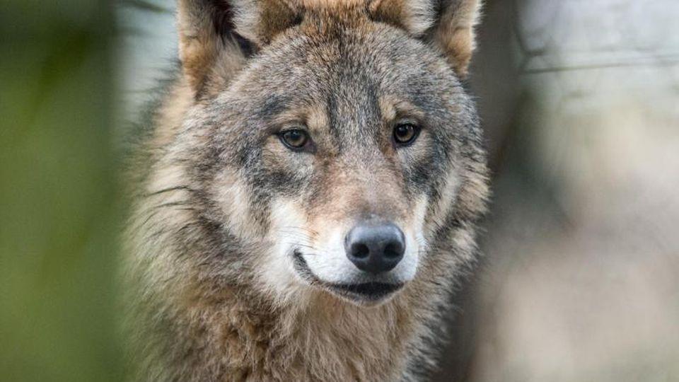 Ein Wolf (Canis Lupus Lupus) in einem Gehege. Foto: picture alliance / Bernd Thissen/dpa/Archivbild