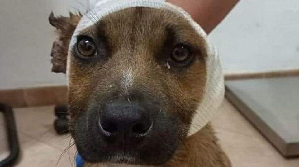 Grausame Kinder schnitten diesem süßen Hund die Ohren ab.
