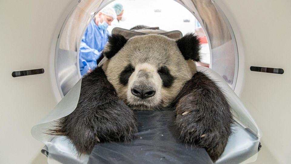 Ob er da wohl wieder rauskommt? Panda-Männchen Jiao Qing wurde im CT untersucht und hat es sich gemütlich gemacht.