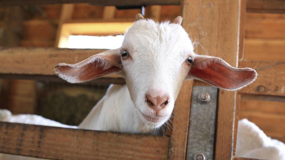 Ein frisch geborenes Ziegenbaby ist erfroren, weil es für den Zuchtbetrieb zur normalen Ausfallquote gehört (Symbolbild).