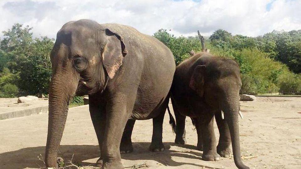 Mutter Kewa mit Jungbulle Edgar im Tierpark Berlin. Foto: ---/Zoo Leipzig GmbH/dpa